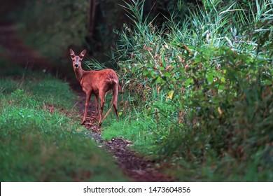 Roe deer doe on forest path looking towars camera.