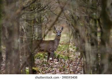 A roe deer doe pauses between the trees to watch me.