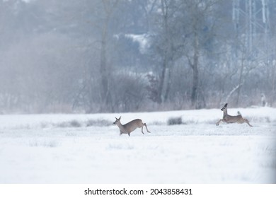 Roe deer during a could morning at the northern part of Germany