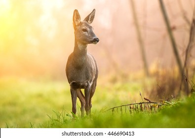 Roe deer in early morning light