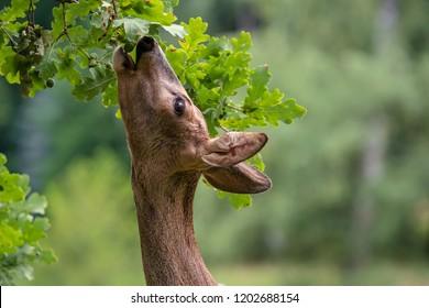 Roe deer eating acorns from the tree, Capreolus capreolus. Wild roe deer in nature.