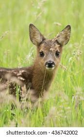 Roe Deer fawn  - Ree kalf