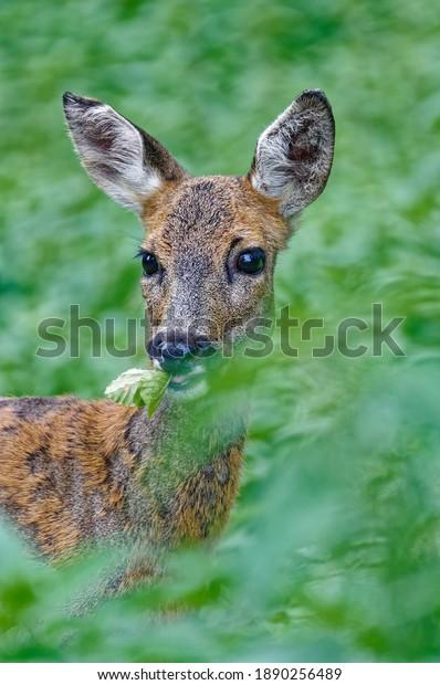 roe-deer-feeding-forest-600w-1890256489.