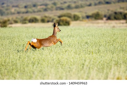 Roe deer female jumping between the cereal. Capreolus capreolus.
