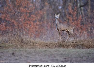 Roe deer female in the oak forest