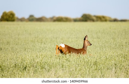 Roe deer female running in cereal field. Capreolus capreolus.