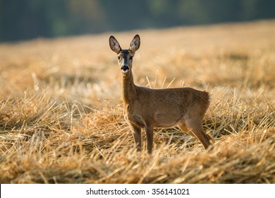Roe deer in field.