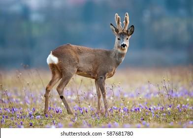 Roe deer in a field full of saffron. Roe deer wildlife