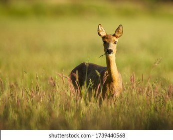 Roe deer foraging facing camera with grass in his beak