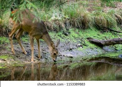 Roe deer in forest, Capreolus capreolus. Wild roe deer drinking water from the pond
