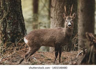 Roe deer in forest field
