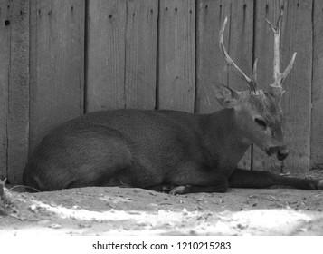 Roe deer, (genus Capreolus), also called roebuck, small, graceful Eurasian deer of the family Cervidae (order Artiodactyla).