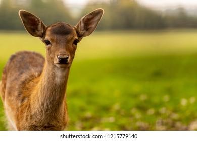 Roe deer grazing in a field. Roe deer in a summer amidst field full of saffron. Roe deer wildlife. Roe deer in summer coating