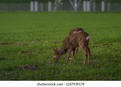 Roe deer grazing on the field