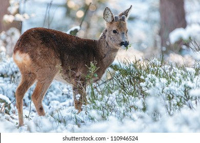 Roe deer grazing in a winter forest at the Veluwe in The Netherlands
