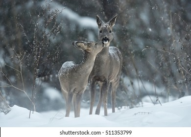 Roe deer kiss. Animal love.