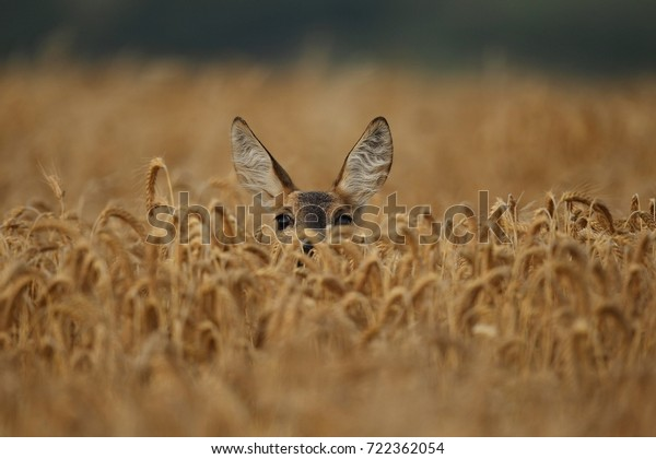 Roe deer male on the magical green grassland, european wildlife, wild animal in the nature habitat, deer rut in czech republic.