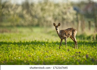 Roe deer mammal standing in a fresh green farm field facing to camera