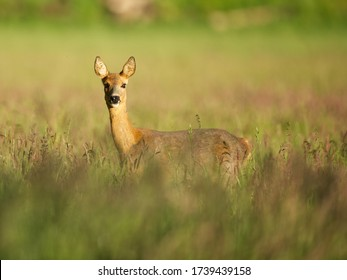 Roe deer mammal standing in a grassfield looking in to the camera