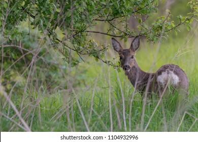 Roe deer in Mecklenburg Vorpommern, Germany