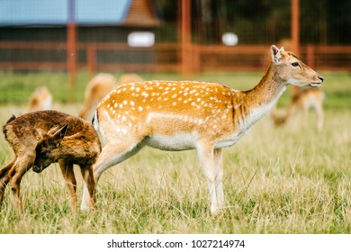 Roe deer mother cares her little helpless young child. Kind beautiful mammal family in zoo in Eastern Europe outdoor at nature in summer. Swet and lovely fawn habits. Innocent tender bimbo portrait