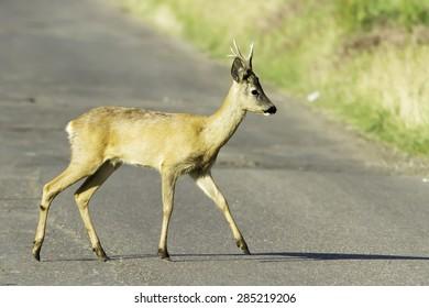 roe deer in natural habitat / Capreolus capreolus