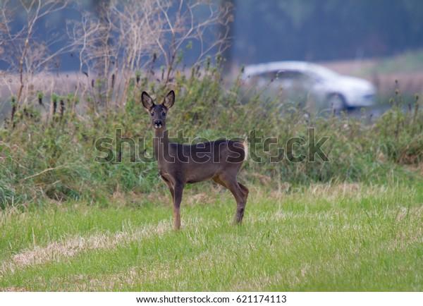 Roe deer near street