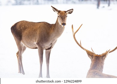 roe deer and noble deer stag in winter snow