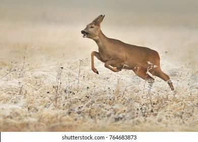 Roe Deer on frozen meadow, Capreolus capreolus, Doe wild on snowy colour background,