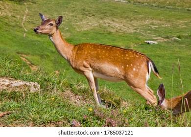 Cerf rouge sur le champ vert