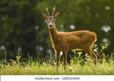 Roe Deer on the meadow in the rain