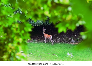 Roe deer in the outskirts.