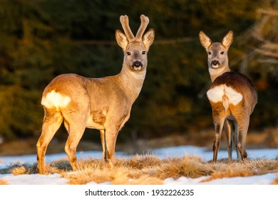Roe deer pair on the evening pasture enlighten with warm light. Roe deer buck with doe at the end of winter. Roe deer pair on the snow. Capreolus capreolus, wildlife, Slovakia.
