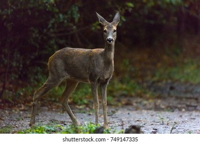 Roe deer portrait in a rainy day