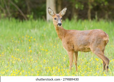 Female Deer Images, Stock Photos & Vectors | Shutterstock