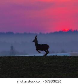 Roe deer - Running goat against the setting sun (Capreolus capreolus)