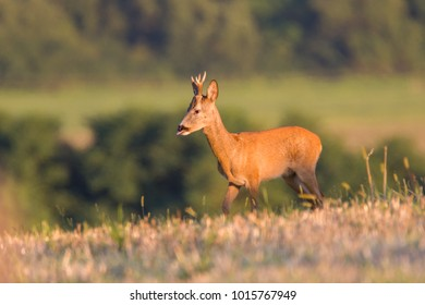 Roe deer in rut in summer wild nature, Slovakia