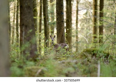 A roe deer stops to watch me. While walking through the forest on a beautiful evening, I spotted this deer nibbling on the fresh leaves of spring. The warm spring weather brings the forest to life.