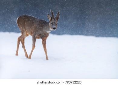 roe deer in winter Capreolus capreolus