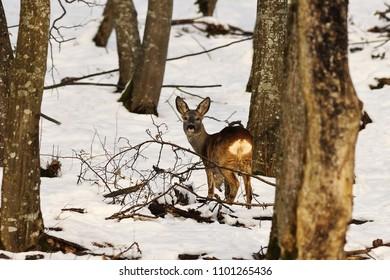 roe deer in winter natural habitat ( Capreolus )