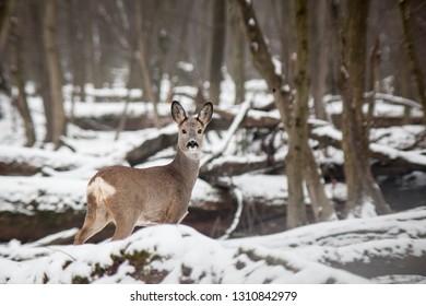 Roe deer in winter woods