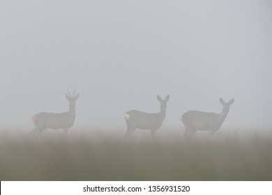 Roe deers in the misty field