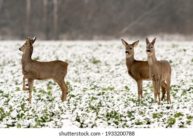 Roe deers portrait and close