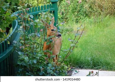roe in the garden eats roses