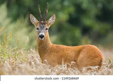 Roebuck - buck (Capreolus capreolus) Roe deer - goa
