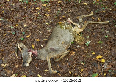 A roebuck in forest fallen prey to stray dogs. A deer was found dead in forest