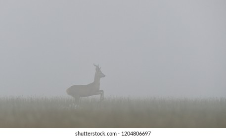 Roebuck in the mist. Roe deer in the mist.
