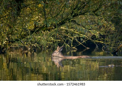 Roedeer crossing the river to safety