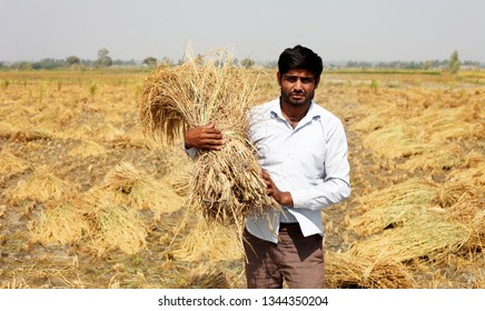 Rohtak, Haryana, India - October 16, 2016: Young farmer of Indian ethnicity standing in the field holding rice paddy crop bundle in his hand portrait outdoor.