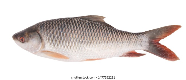 Rohu fish isolated on white background, with clipping path